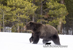 The First Grizzly Boars come out of the Dens