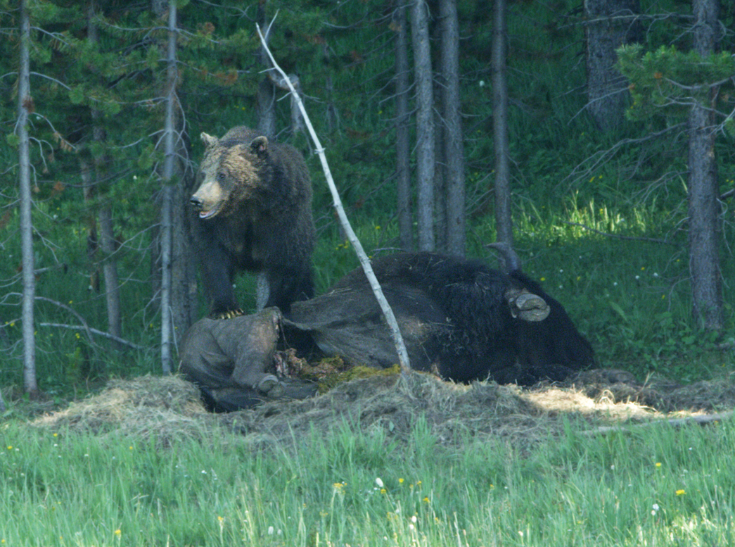 Grizzly Guarding His Dinner