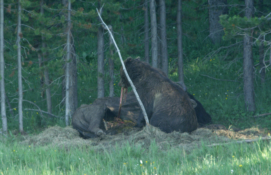 Grizzly Pulling Out Intestines