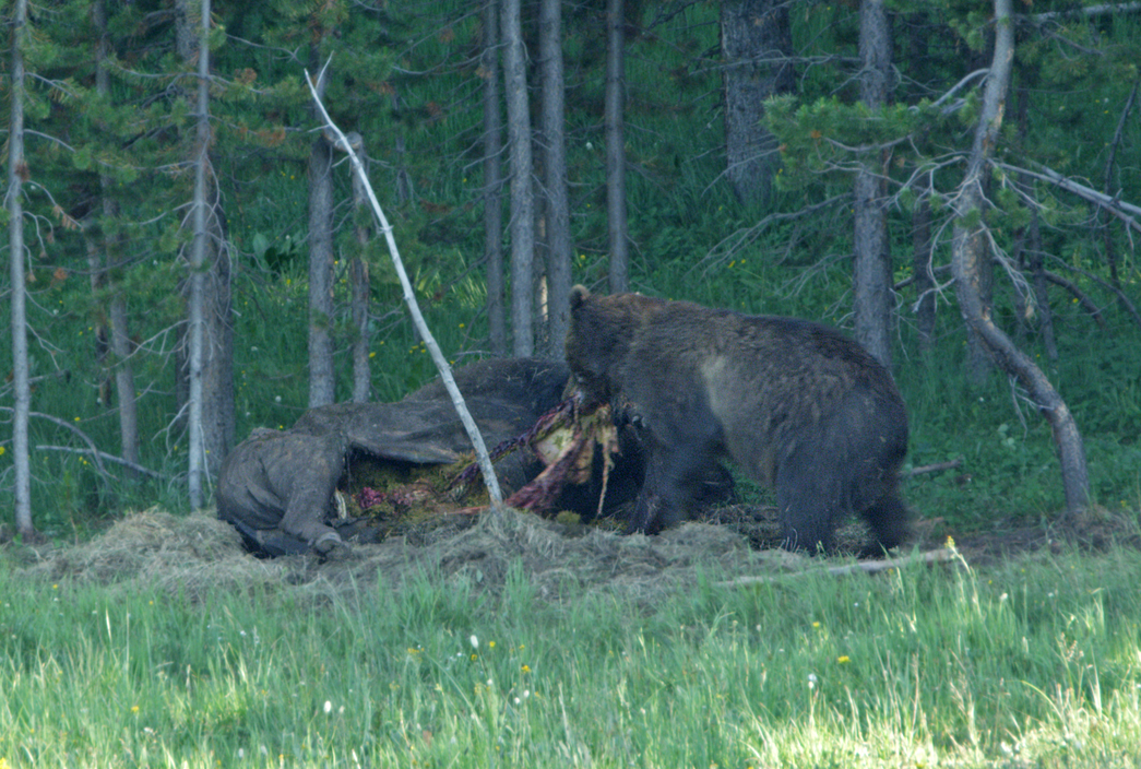 Grizzly Pulling Out Stomach and Intestines As He Left
