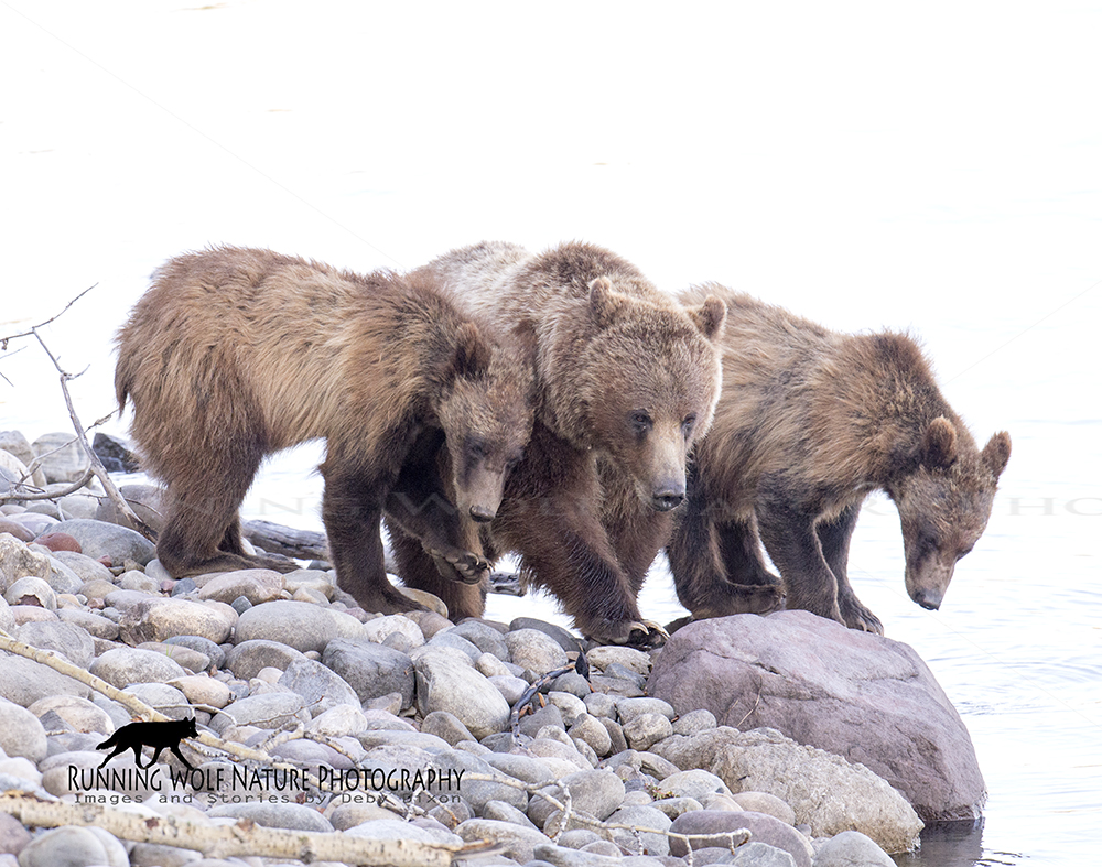 Grizzly sow 399 and her yearlings, taken on Jackson Lake in 2014