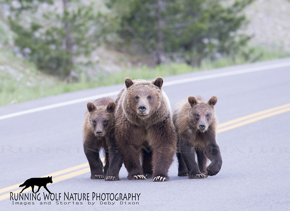 The family crosses the road and the cubs stay close to mom while she looks closely at us.
