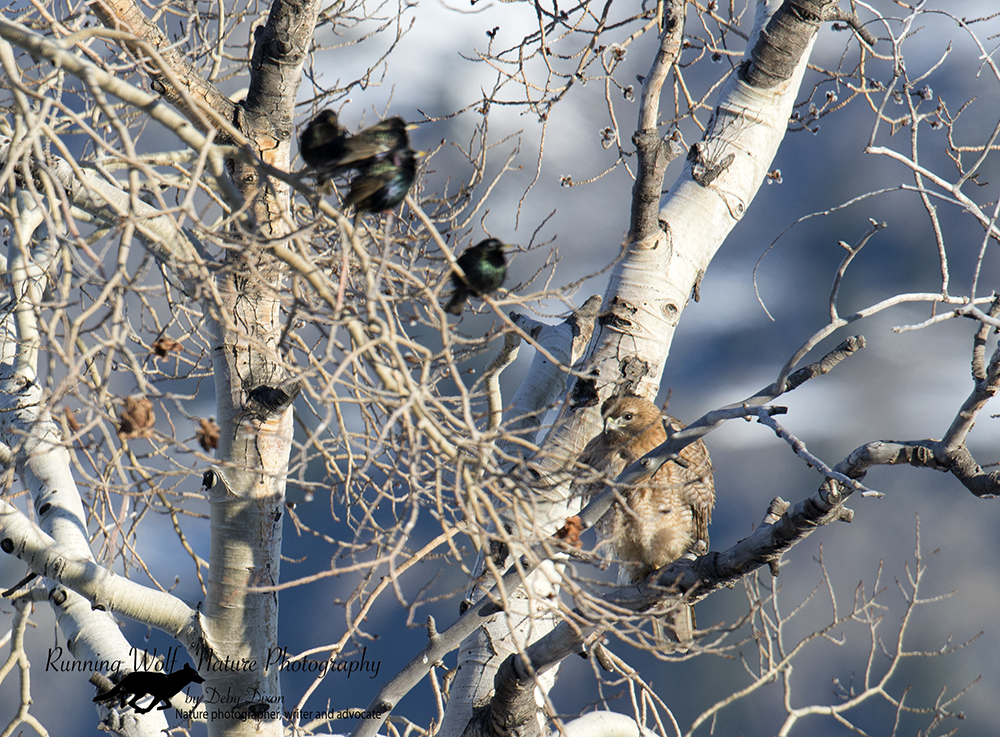 Red tail hawk and starlings