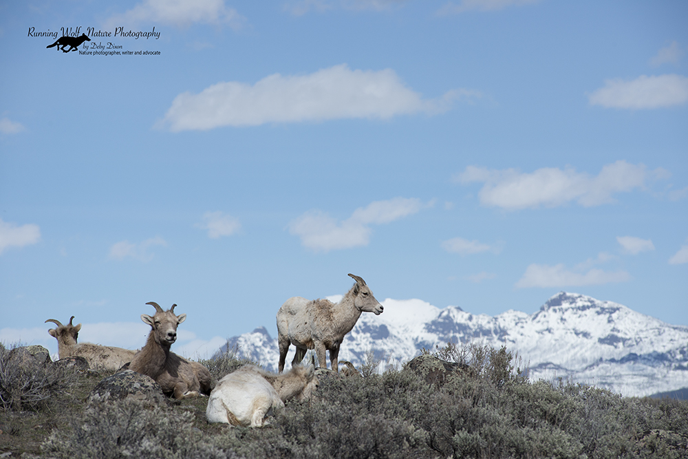 Big Horn sheep with the mountains behind them