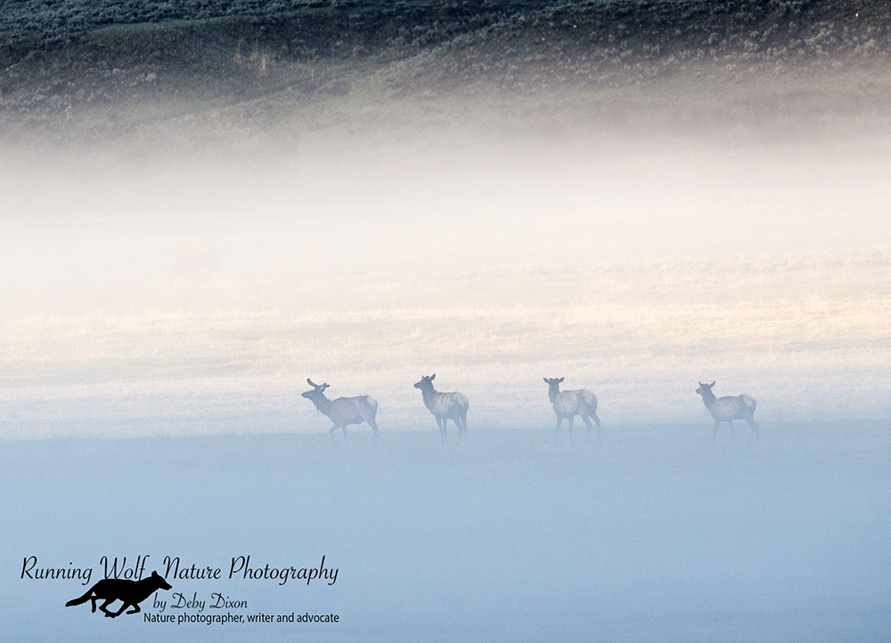 Elk in the fog in Lamar Valley