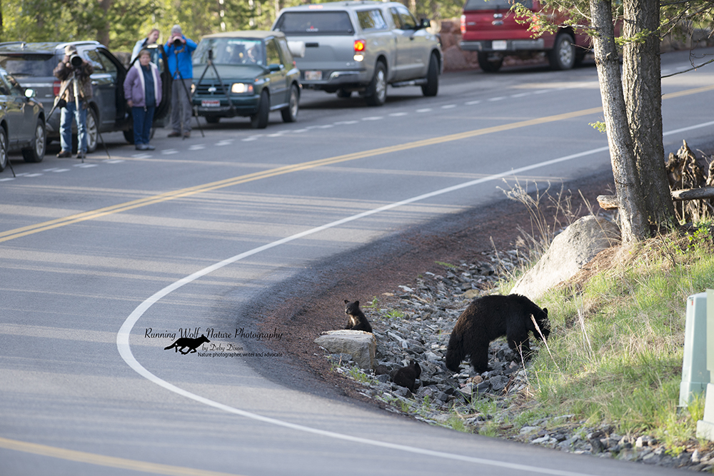 Mixed Mom and cubs using culvert to cross road