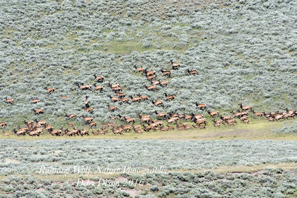 A lot of running elk.  There are over 30 calves in this photo alone, which doesn't show but a small fraction of the elk that was there.