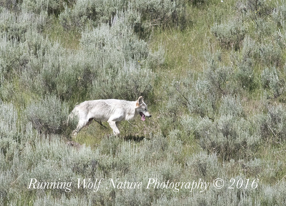 Wapiti Alpha Female, Canyon pack daughter
