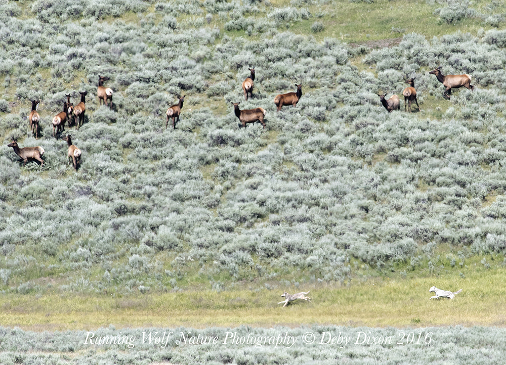 Wapiti females still chasing elk after males quit